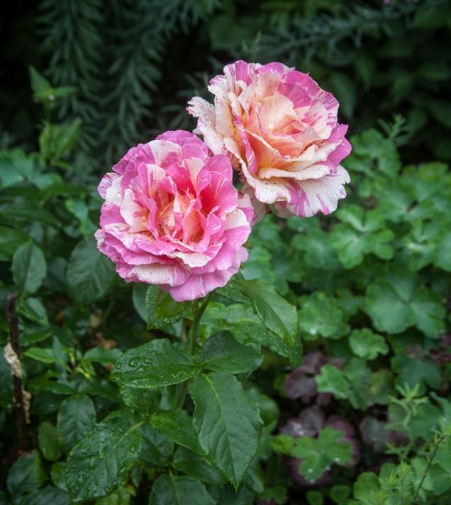 Ros Claude Monet